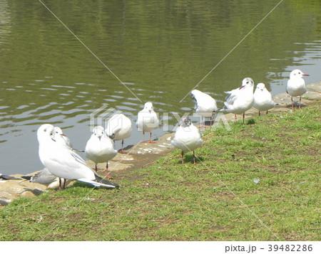 冬の渡り鳥ユリカモメ 39482286