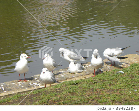 冬の渡り鳥ユリカモメ 39482287