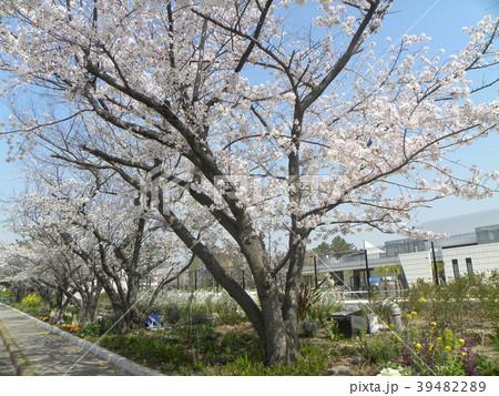 オオシマの花が満開です 39482289
