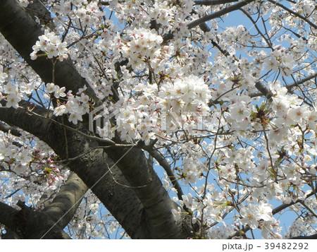 オオシマザクラノの花が満開です 39482292