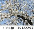 ヤマザクラの花が満開です 39482293