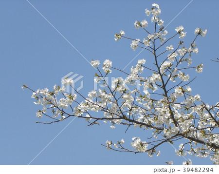 オオシマザクラの花が満開です 39482294