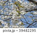 ヤマザクラの花が満開です 39482295