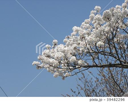 オオシマザクラヨシノの花が満開です 39482296