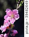 花桃 花 桃の花の写真 39482649