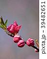 花桃 花 桃の花の写真 39482651