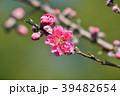 花桃 花 桃の花の写真 39482654
