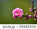花桃 花 桃の花の写真 39482656
