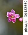 花桃 花 桃の花の写真 39482660
