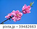 花桃 花 桃の花の写真 39482663