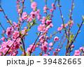 花桃 花 桃の花の写真 39482665