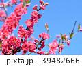 花桃 花 桃の花の写真 39482666