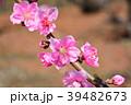 花桃 花 桃の花の写真 39482673