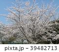 ソメイヨシノの花が満開です 39482713