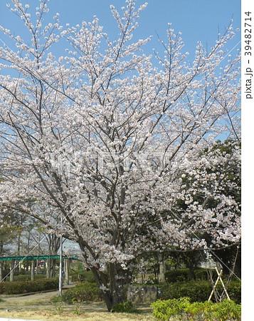 ソメイヨシノの花が満開です 39482714