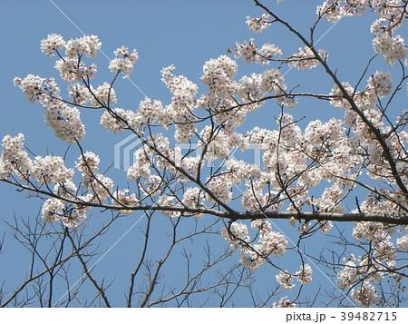 ソメイヨシノの花が満開です 39482715