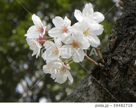 オオシマザクラの花が満開です 39482716