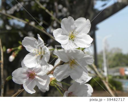オオシマザクラノの花が満開です 39482717