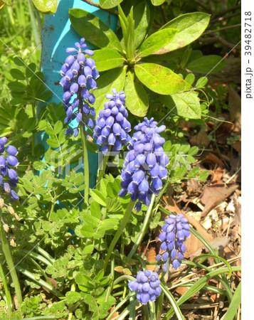 ぶどうを逆さにしたように咲くムスカリの青い花 39482718
