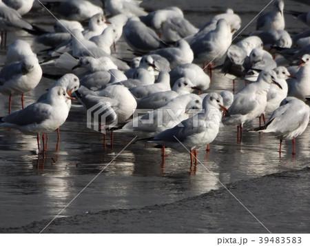 冬の渡り鳥ユリカモメ 39483583