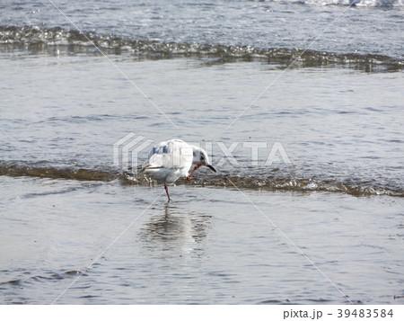 冬の渡り鳥ユリカモメ 39483584