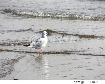 冬の渡り鳥ユリカモメ 39483585