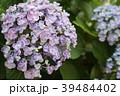 あじさい 植物 紫陽花の写真 39484402