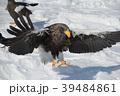 流氷とオオワシ(北海道羅臼町) 39484861