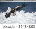 流氷とオオワシ(北海道羅臼町) 39484863