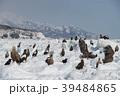 流氷とオオワシ、オジロワシ、知床連峰(北海道羅臼町) 39484865