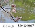 満開~散り始めの桜 川面の花筏の背景 b 寄り 39484907