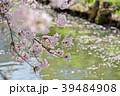 満開~散り始めの桜 川面の花筏の背景 c 明るい岸辺 39484908
