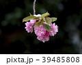 花 桜 八重桜の写真 39485808
