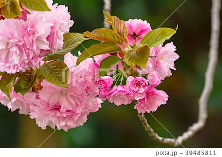 八重桜満開 39485811