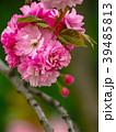 植物 花 桜の写真 39485813