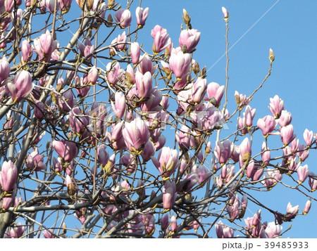 青空に大きい紫色の花を咲かせたモクレン 39485933