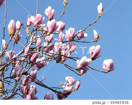 青空に大きい紫色の花を咲かせたモクレン 39485936