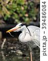 青鷺 狩り 蒼鷺の写真 39486084