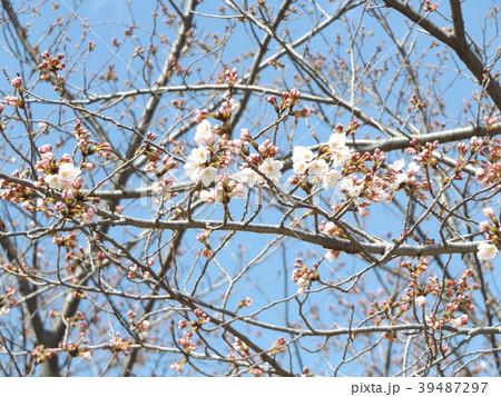 咲き始めたオオシマザクラ 39487297