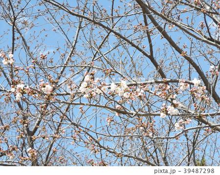 咲き始めたオオシマザクラ 39487298