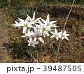チューリップの原種レディジェーン 39487505