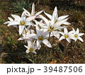 チューリップの原種レディジェーン 39487506