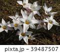 チューリップの原種レディジェーン 39487507