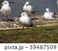 冬の渡り鳥ユリカモメ 39487509