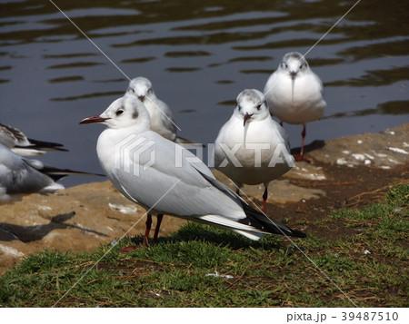 冬の渡り鳥ユリカモメ 39487510