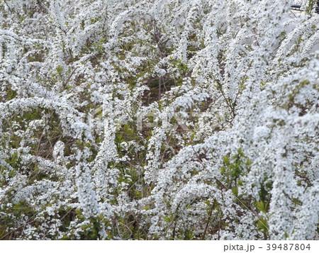 雪のように白く小さいユキヤナギの白い花 39487804