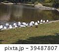 冬の渡り鳥ユリカモメ 39487807