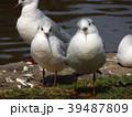 冬の渡り鳥ユリカモメ 39487809