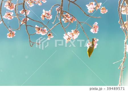 寒桜とメジロ permingM 季節の花 写真素材 39489571