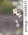 梅の花 permingM  季節の花 写真素材 39489572